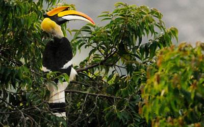 Malabar Hornbill