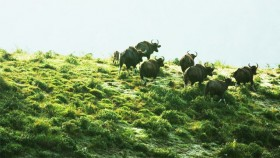 bison at thekkady