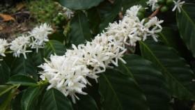 cofee flower
