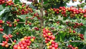 cofee plant